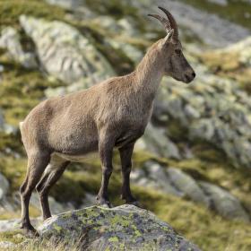 Capra ibex ibex