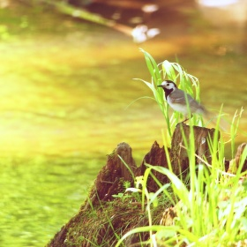 Konipas u vody
