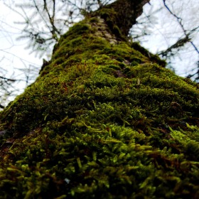 Strom porostlý mechem