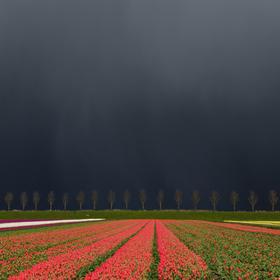 Bouře nad tulipány