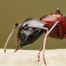 Mraveneček