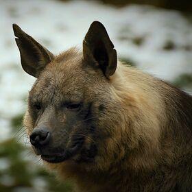 Vlk či pes ?