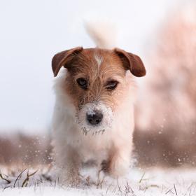 Rony ve sněhu