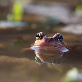 Kolik očí má žába?