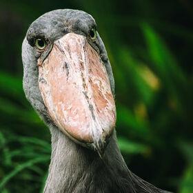 A Portrait of a Shoebill