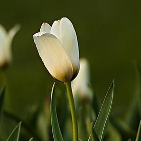 záhon tulipánů ...