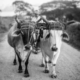 Muž se dvěma voly táhnoucími sáně s nákladem na ulici ve Valle de Viñales