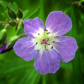 Kakost luční (Geranium pratense), Glen Affric, Skotsko
