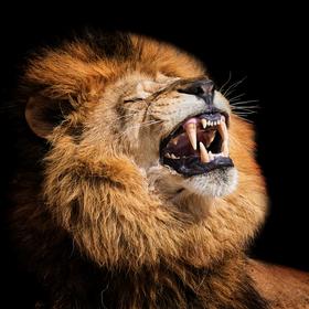 Lev pustinný