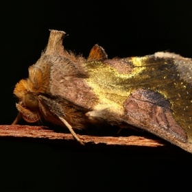 Kovolesklec šedivkový (Diachrysia chrysitis)