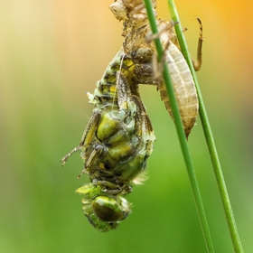 Vážka ploská - Libellula depressa