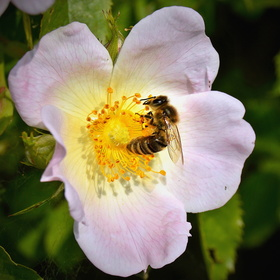 Na šípkovém květu ...