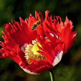 Včelka nad okrasným mákem