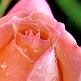 Růže po dešti II.