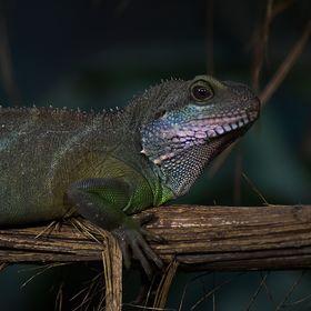 Agama (Physignathus cocincinus)