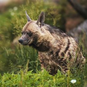 Hyena žíhanná