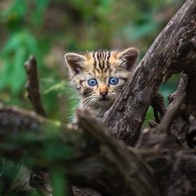 Kočka divoká