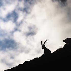 Kozorožec horský