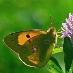 Žlutý motýl se zeleným okem