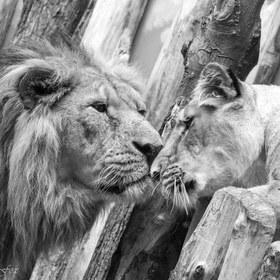 Pravá láska, jen ta zvířecí