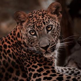 Levhart cejlonský-kotě