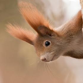 Veverica obyčajná (Sciurus vulgaris)