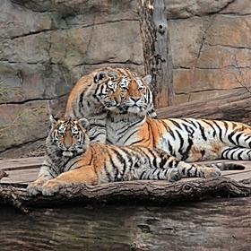 Mazlení Tygrů Usurijských