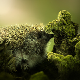 Hedgehog (Jezko)
