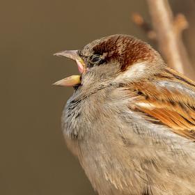 Portrét zpívajícího vrabčáka ...