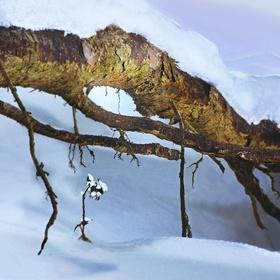 Kořeny stromu, led, sníh a hory