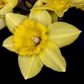 Narcis 1