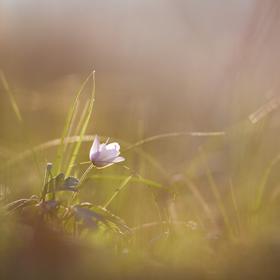 Sasanka v ranním světle