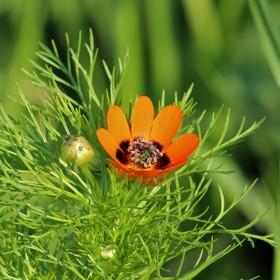 Hlaváček letní (Adonis aestivalis)