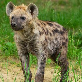 Hyena skvrnitá/Spotted hyena