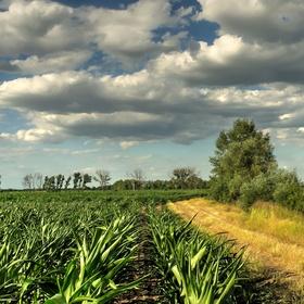 Kolem kukuřičného pole