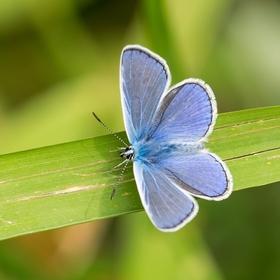 Modrásek jetelový - Polyommatus bellargus.............