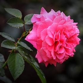 Růže květ