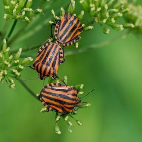 Ze života hmyzu - Kněžice pásovaná