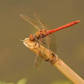 Vážka obecná - (Sympetrum vulgatum)