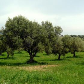 Řecko - Chalkidiky - olivový háj