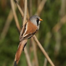Sýkořice vousatá - sameček (Panurus biarmicus)