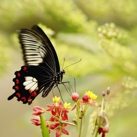 Papilio  rumanzoivia