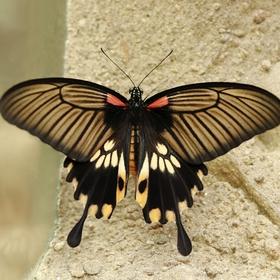 Papilio memnon-II
