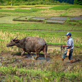 Na rýžovém poli
