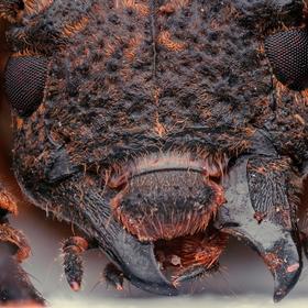 Ze světa brouků - Trachystolodes tonkinensis