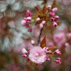 Sakura - okrasná třešeň