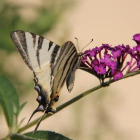motýlí snění