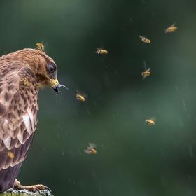 Včelojed lesní (Pernis apivorus) mladý pták I
