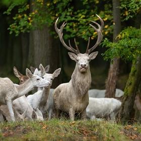 bílý král a jeho družina
