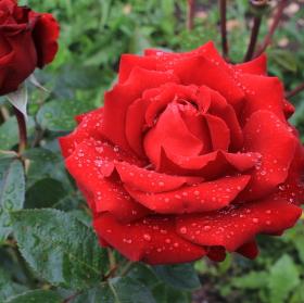 růže po ránu